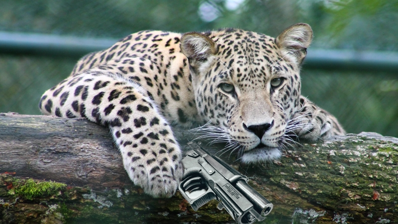 Leopard with a gun.